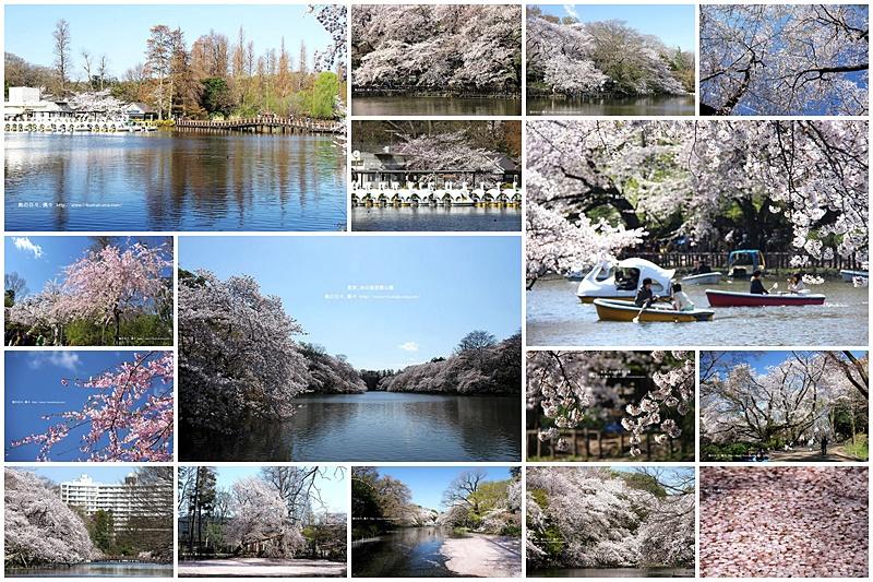 東京井之頭公園櫻花