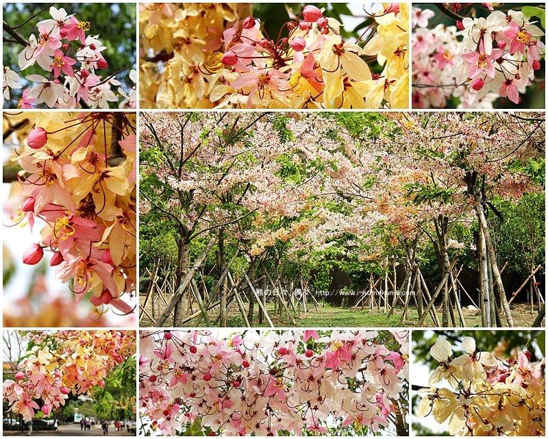 台南南化桃紅陣雨樹