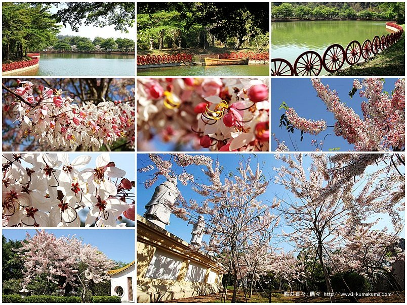高雄六龜神威天台山桃紅陣雨樹